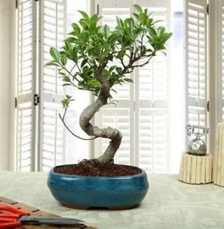 Amazing Bonsai Ficus S İthal  Bolu internetten çiçek siparişi