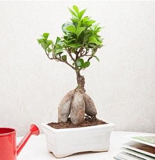 Exotic Ficus Bonsai ginseng  Bolu çiçek servisi , çiçekçi adresleri