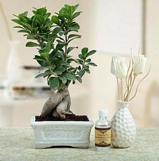 Ginseng ficus bonsai  Bolu çiçekçiler