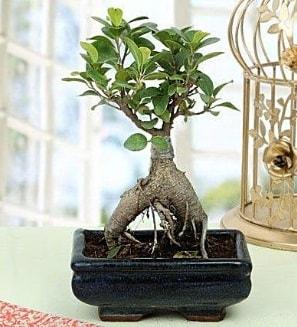 Appealing Ficus Ginseng Bonsai  Bolu anneler günü çiçek yolla