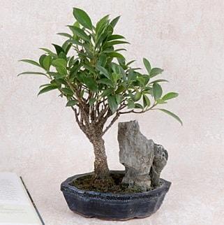Japon ağacı Evergreen Ficus Bonsai  Bolu çiçek gönderme sitemiz güvenlidir