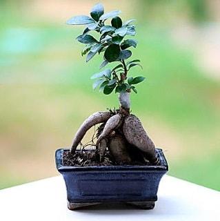 Marvellous Ficus Microcarpa ginseng bonsai  Bolu çiçek siparişi vermek