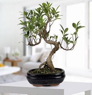 Gorgeous Ficus S shaped japon bonsai  Bolu yurtiçi ve yurtdışı çiçek siparişi