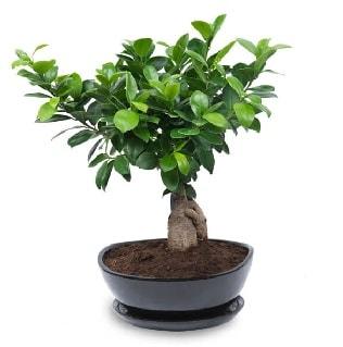 Ginseng bonsai ağacı özel ithal ürün  Bolu internetten çiçek satışı