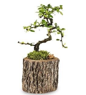 Doğal kütükte S bonsai ağacı  Bolu çiçek satışı