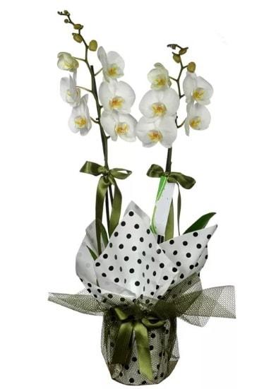 Çift Dallı Beyaz Orkide  Bolu 14 şubat sevgililer günü çiçek