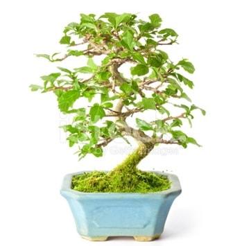 S zerkova bonsai kısa süreliğine  Bolu İnternetten çiçek siparişi