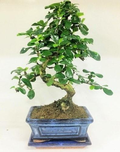 S Bonsai japon ağacı bitkisi  Bolu uluslararası çiçek gönderme