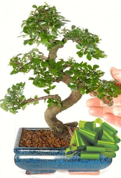 Yaklaşık 25 cm boyutlarında S bonsai  Bolu çiçek siparişi sitesi