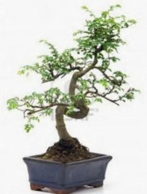 S gövde bonsai minyatür ağaç japon ağacı  Bolu çiçek satışı