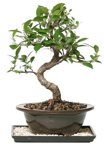 Altın kalite Ficus S bonsai  Bolu çiçekçi telefonları  Süper Kalite