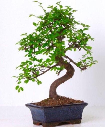 S gövdeli bonsai minyatür ağaç japon ağacı  Bolu çiçek gönderme sitemiz güvenlidir