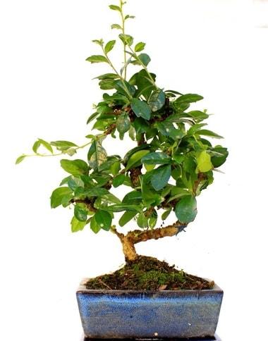 S gövdeli carmina bonsai ağacı  Bolu çiçek yolla  Minyatür ağaç