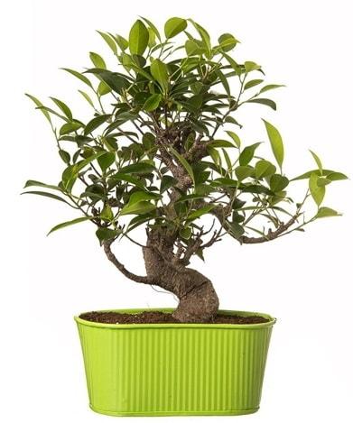 Ficus S gövdeli muhteşem bonsai  Bolu çiçek siparişi sitesi