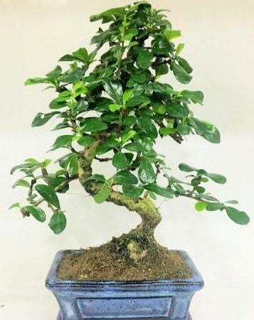 Zelkova S gövdeli Minyatür ağaç Bonzai  Bolu çiçek gönderme