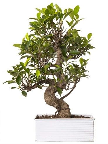 Exotic Green S Gövde 6 Year Ficus Bonsai  Bolu çiçek gönderme sitemiz güvenlidir