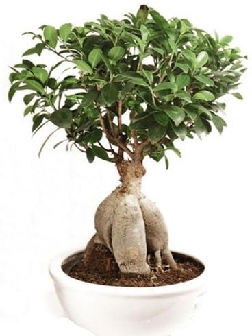 Ginseng bonsai japon ağacı ficus ginseng  Bolu İnternetten çiçek siparişi