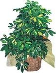Bolu internetten çiçek siparişi  Schefflera gold